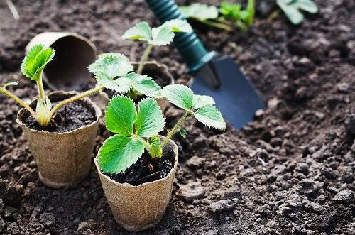coltivare le fragole in casa