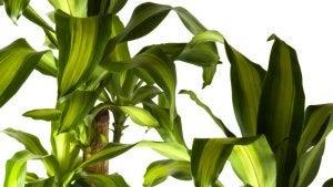 Tronco del Brasile è una delle piante che purifica l'aria