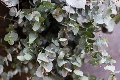Rami di eucalipto per rinfrescare l'ambiente