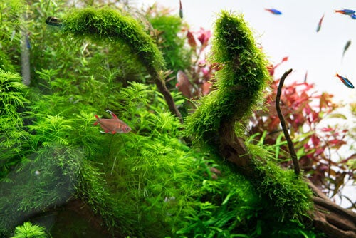 Alghe spesse in un acquario