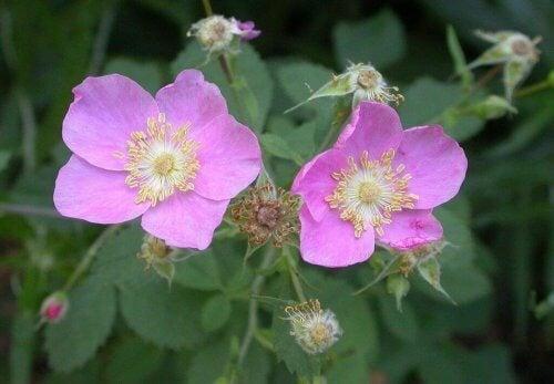 piante rampicanti fiorite: la rosa californica