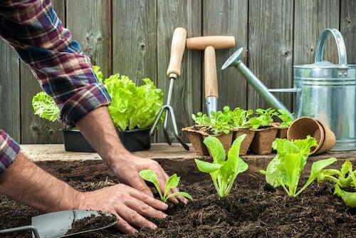 uomo che pianta insalata in orto di casa