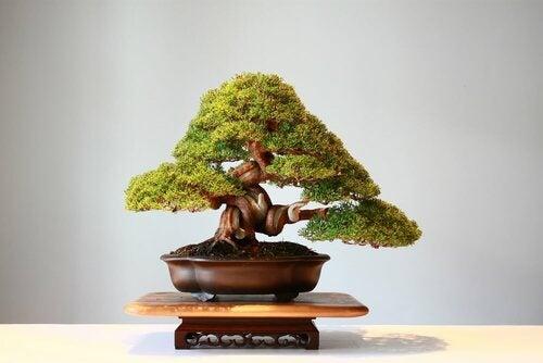 I bonsai, bellissimi alberi in miniatura