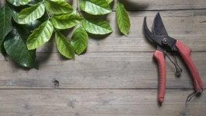 Prendersi cura delle piante potando le foglie secche