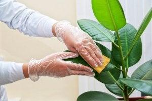 Mani puliscono le foglie di una pianta