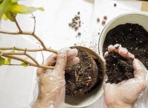 Mani trapiantano una pianta da un vaso all'altro