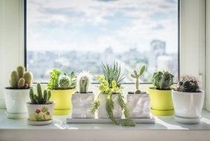 Cactus nei vasetti sul davanzale