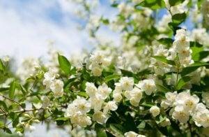Pianta di gelsomino fiorita