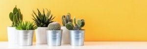 Cactus per decorare casa