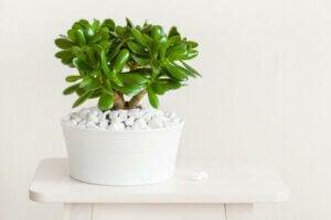 Tipo di succulenta in un vasetto bianco con sassolini