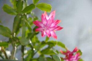 Cactus di Natale con fiori rosa