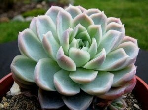 Rosa di alabastro, un tipo di succulenta per la casa