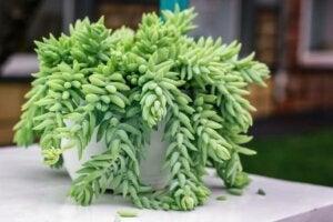 Tipo di succulenta con i rami pendenti