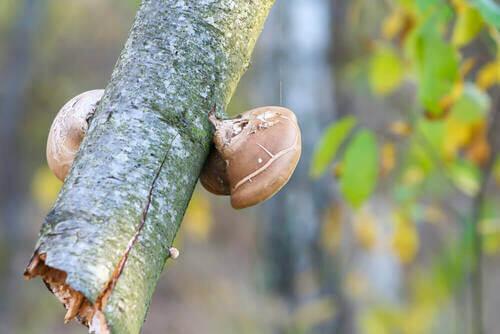 Funghi di bosco su un ramo.