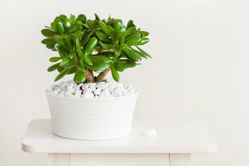 Albero di giada in un vaso bianco