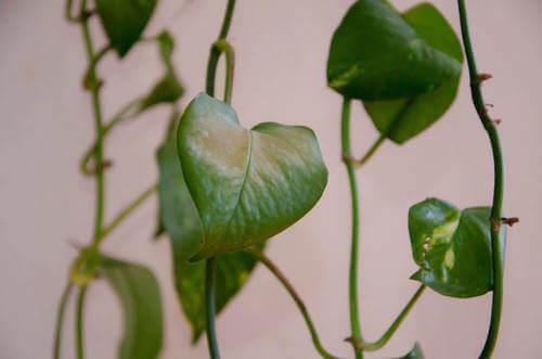 Pianta di potus con rami cadenti
