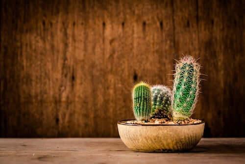 Cactus in vaso con parete di legno.