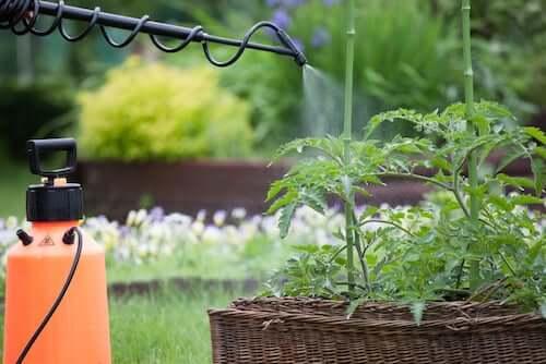 Parassiti e malattie delle piante. Pianta di pomodoro trattata con un antiparassitario.