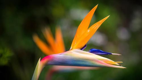Fiore della Strelitzia reginae.
