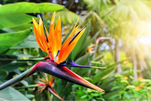 Uccello del paradiso: una bellissima pianta per decorare