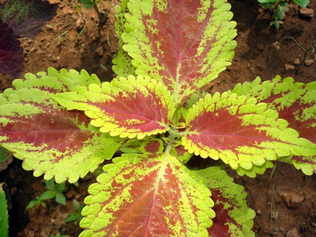 Coleus: come coltivare in casa questa bellissima pianta