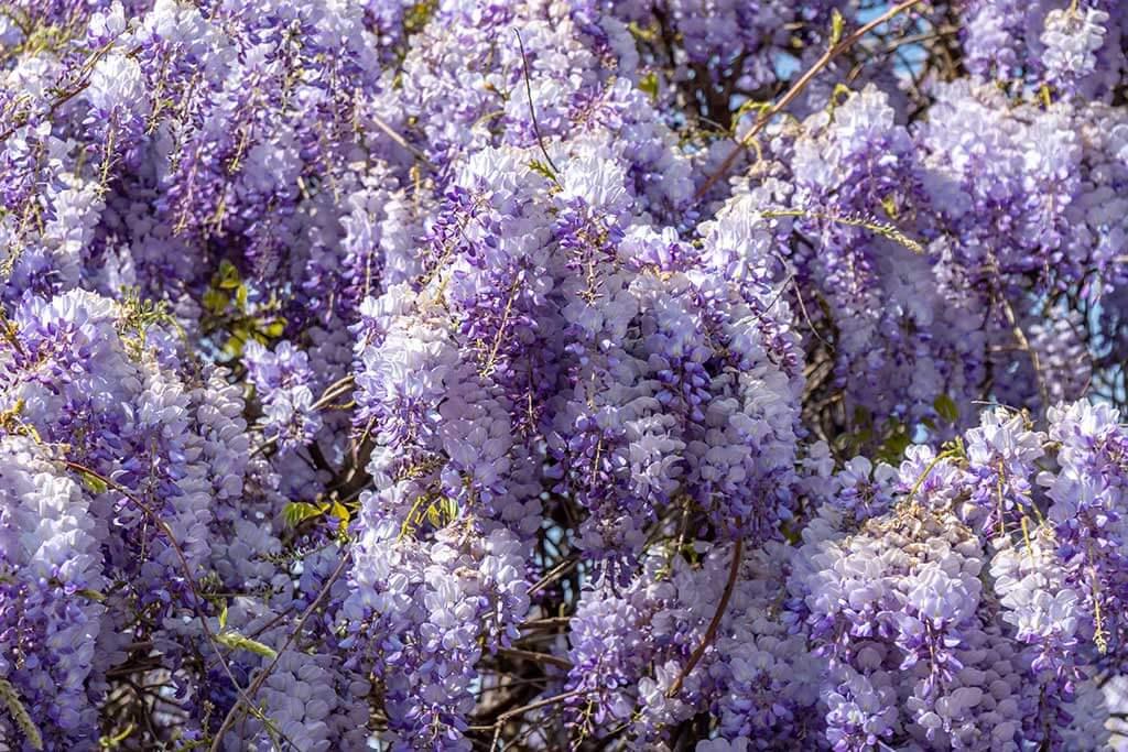 Glicine, una bellissima pianta rampicante