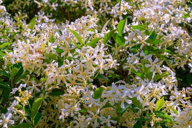 Il gelsomino, una deliziosa pianta profumata
