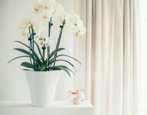白い蘭 室内 花 観葉植物