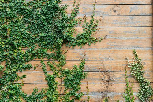 庭の目隠しにアイビーを植える