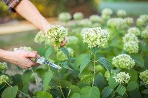 ガーデンケア:アジサイを育てるためのヒント アジサイを切る