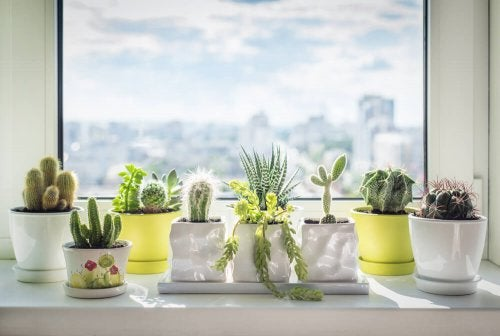 植物と風水:どのような効果がありますか? サボテン