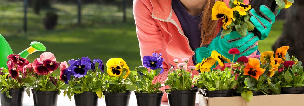 秋の庭:生活に秋を取り入れる3つの理想的な植物 パンジー