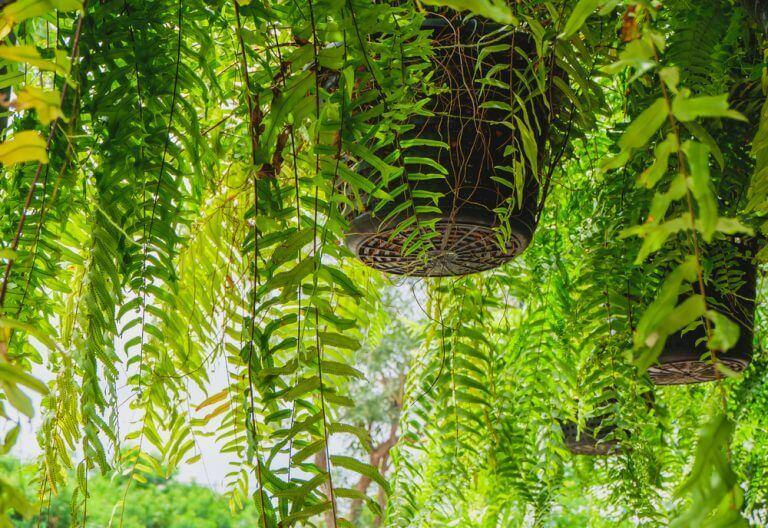 シダ植物:新しく刺激的なインテリアのトレンド 吊るすタイプのシダ