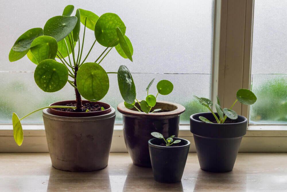サトイモ科の水草とピレア・カディエレイ:テラリウムに合う2つの植物 植木鉢