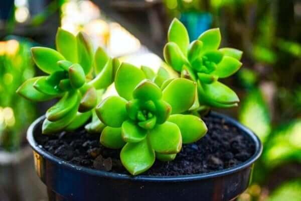 多肉植物 水をやりすぎた植物を助ける方法
