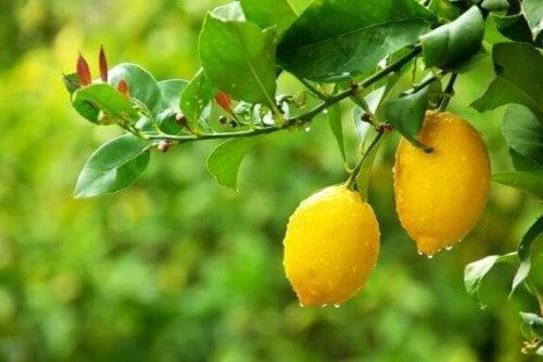 정원에 레몬 나무를 심는 5가지 비결