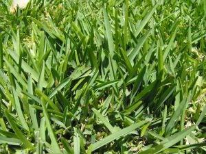 잔디 버팔로 그래스