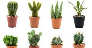 Cactussen variaties