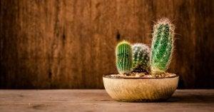 Waar en hoe moet je cactussen kopen