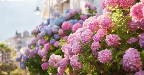 Tuinonderhoud: de beste tips voor de hortensia