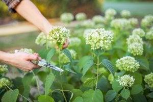 Een onderhoudspunt van hortensia's is het snoeien