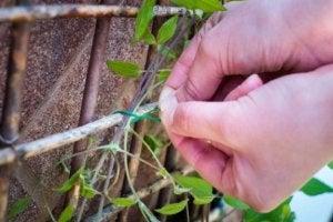 klimplanten vast te vinden aan een bamboe rekje