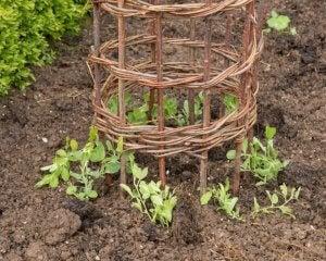 tips om je klimplanten vast te binden met een rond hekje