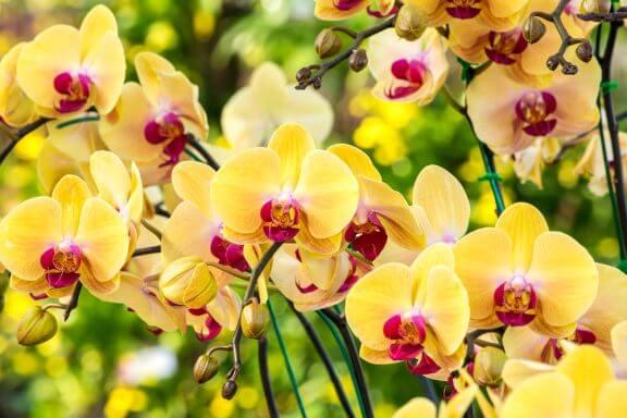 Gele hibiscus