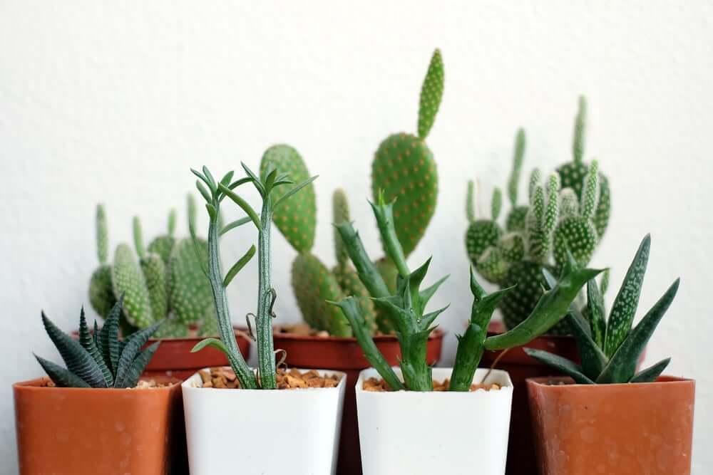 Verzameling cactussen