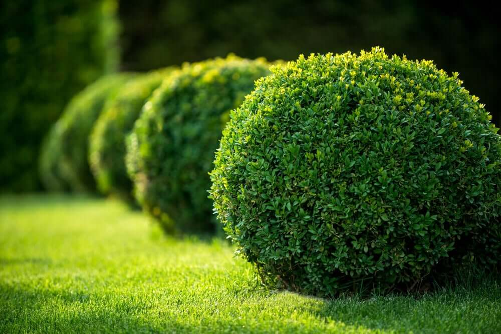 Buxus in een tuin