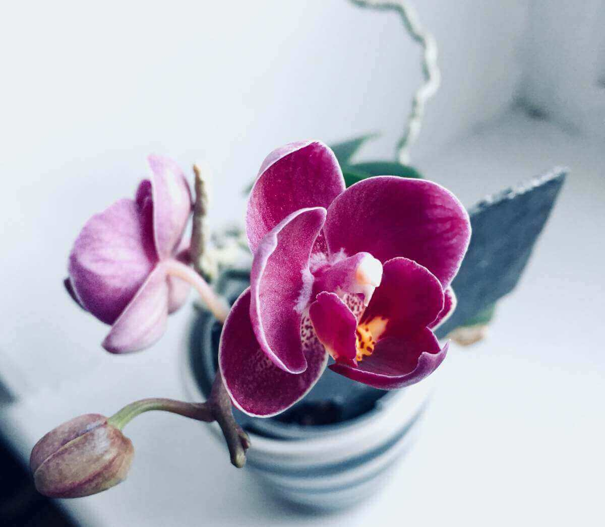 Orchidee in pot