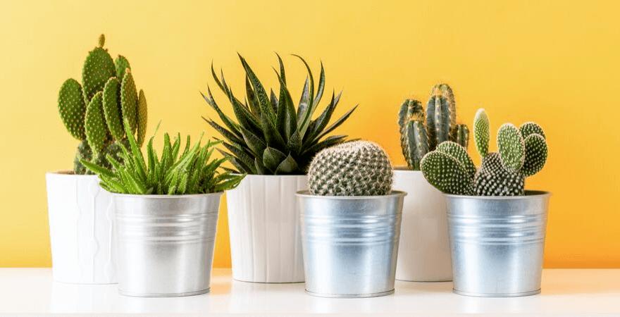 Groepje cactussen