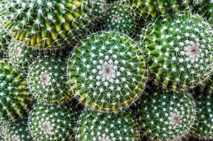 Bolvormige cactus