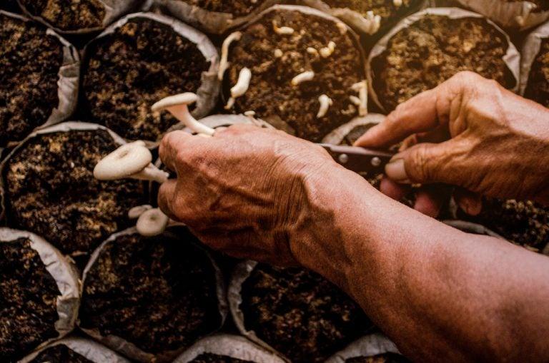 Colheita dos cogumelos